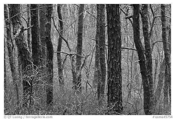 Bare Oak forest, Cape Cod National Seashore. Cape Cod, Massachussets, USA (black and white)