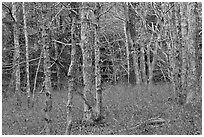 Red maple forest, Cape Cod National Seashore. Cape Cod, Massachussets, USA (black and white)