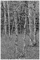 Forest in winter, Cape Cod National Seashore. Cape Cod, Massachussets, USA (black and white)