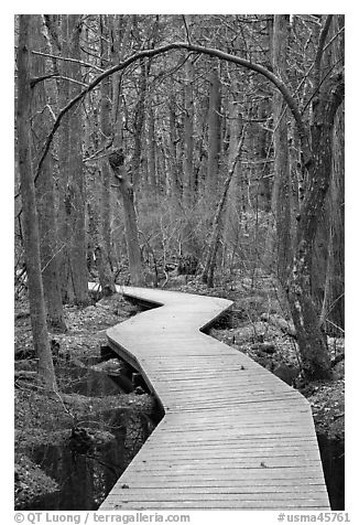 Boardwalk, Atlantic White Cedar swamp trail, Cape Cod National Seashore. Cape Cod, Massachussets, USA