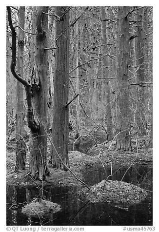 Forested swamp, Cape Cod National Seashore. Cape Cod, Massachussets, USA (black and white)