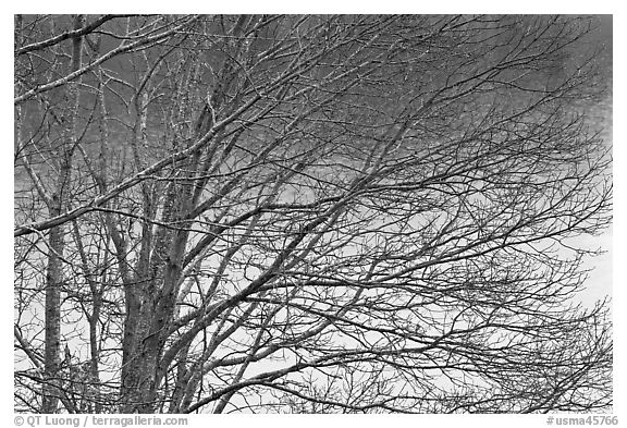 Bare branches, Sandwich. Cape Cod, Massachussets, USA (black and white)