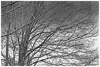Bare branches, Sandwich. Cape Cod, Massachussets, USA ( black and white)