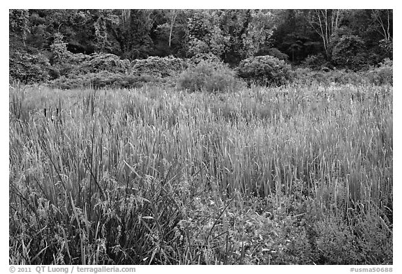 Meadow in summer, Minute Man National Historical Park. Massachussets, USA (black and white)