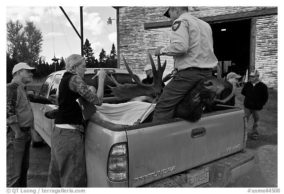 Inspectors recording antler length of killed moose, Kokadjo. Maine, USA (black and white)
