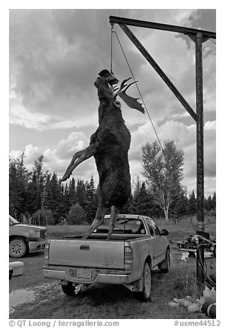 Huge moose lifted from truck for weighting, Kokadjo. Maine, USA