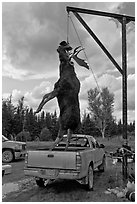 Huge moose lifted from truck for weighting, Kokadjo. Maine, USA ( black and white)