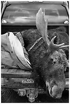 Large dead moose in back of truck, Kokadjo. Maine, USA (black and white)