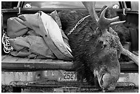 Large killed moose in back of truck, Kokadjo. Maine, USA ( black and white)