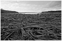 Dead trees on the shore of Chesunkunk Lake. Maine, USA (black and white)