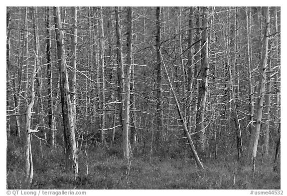 Dense forest of dead standing trees. Maine, USA (black and white)