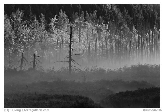 Tree skeletons, forest in fall foliage, and fog. Maine, USA (black and white)