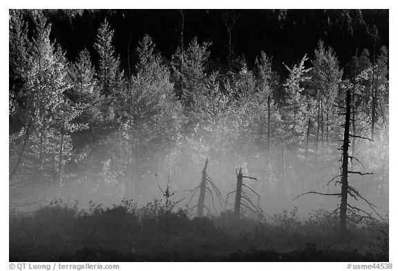 Tree skeletons, fog, and trees in autumn foliage. Maine, USA (black and white)