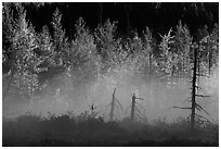 Tree skeletons, fog, and trees in autumn foliage. Maine, USA ( black and white)