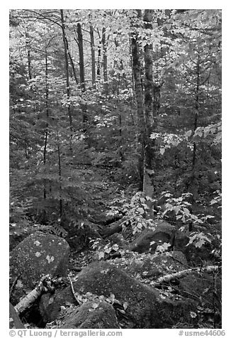 Forest with boulders, evergreen, and trees in autumn color. Baxter State Park, Maine, USA (black and white)