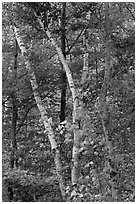 Curving tree trunks and fall foliage. Maine, USA ( black and white)
