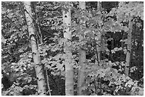 White birch trees and maple leaves in the fall. Baxter State Park, Maine, USA (black and white)