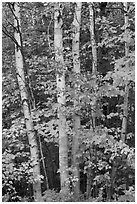Group of birch trees and maple leaves in autumn. Baxter State Park, Maine, USA (black and white)