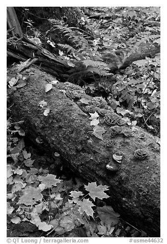 Moss-covered log in the fall. Allagash Wilderness Waterway, Maine, USA (black and white)