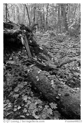 Forest floor with moss-covered log. Allagash Wilderness Waterway, Maine, USA (black and white)