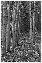 Forest reclaiming railway tracks. Allagash Wilderness Waterway, Maine, USA (black and white)
