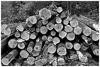 Cut tree trunks. Maine, USA ( black and white)