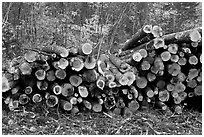 Cut timber wood. Maine, USA (black and white)