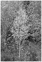 Young trees in fall foliage. Maine, USA ( black and white)