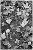Red fallen maple leaves, moss and rock. Allagash Wilderness Waterway, Maine, USA (black and white)