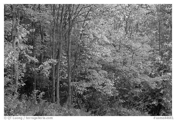 North woods trees with dark trunks in autumn foliage. Allagash Wilderness Waterway, Maine, USA (black and white)