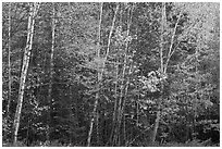Septentrional trees with light trunks in fall foliage. Allagash Wilderness Waterway, Maine, USA ( black and white)