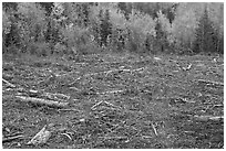 Clear cut forest in the fall. Maine, USA (black and white)