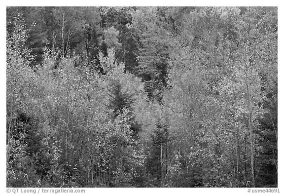 Northwoods autumn color. Maine, USA (black and white)