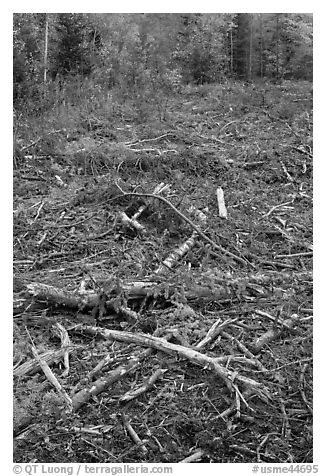 Tree remnants in logged area. Maine, USA (black and white)