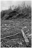 Cut area and twigs in logging area. Maine, USA ( black and white)