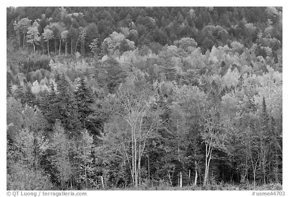 Northern woods in autumn. Maine, USA (black and white)