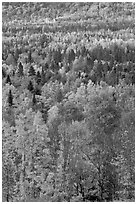 Septentrional forest in the fall. Maine, USA ( black and white)