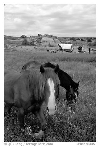 Horses and wagon. North Dakota, USA (black and white)