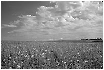 Field with sunflowers and clouds. North Dakota, USA ( black and white)
