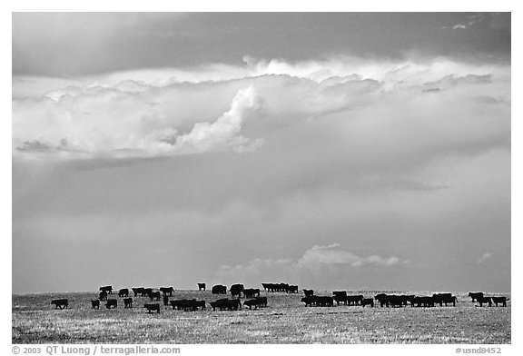 Open pasture with cows and clouds. North Dakota, USA