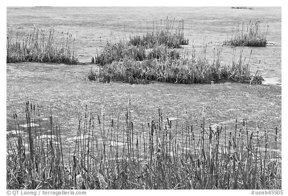 Reeds and frozen water. Walpole, New Hampshire, USA (black and white)