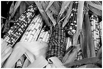 Multicolored corn. New Hampshire, New England, USA ( black and white)