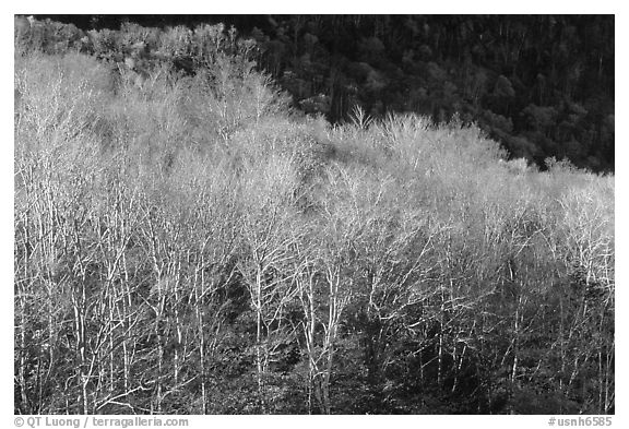 Trees in late autumn, White Mountain National Forest. New Hampshire, USA (black and white)