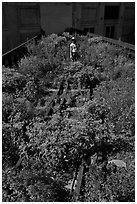 Gardener working on the High Line. NYC, New York, USA ( black and white)