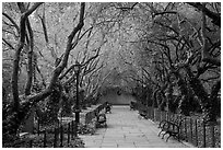 Crabapple Allees, Conservatory Garden. NYC, New York, USA (black and white)