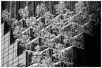 Hanging gardens on Trump Tower. NYC, New York, USA ( black and white)