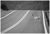 Pronghorn antelope crossing road, Custer State Park. Black Hills, South Dakota, USA ( black and white)