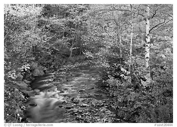 Stream and birch trees. Vermont, New England, USA (black and white)