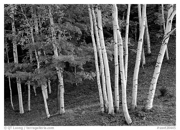 Birch trees. Vermont, New England, USA (black and white)