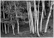 Birch trees. Vermont, New England, USA ( black and white)